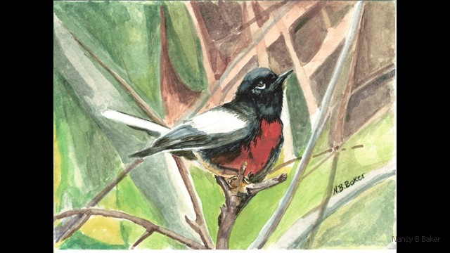 Painted Redstart 2